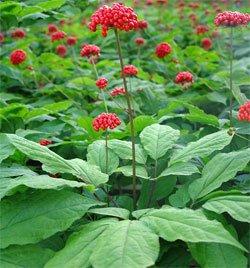 Женьшень - Лекарственные растения