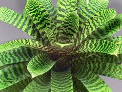 Вриезия продырявленная - Комнатные растения