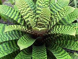 Вриезия фостера - комнатные растения