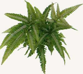 Птерис четырехушковый - Комнатные растения