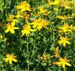 Зверобой продырявленный - Лекарственные растения