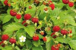 Земляника лесная - Лекарственные растения