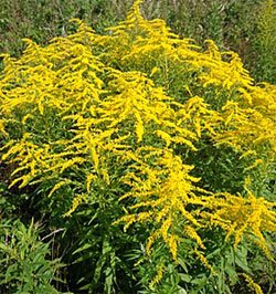 Золотарник канадский - Лекарственные растения