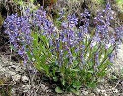 Истод тонколистный - Лекаарственные растения