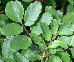 Каланхое перистое - Лекарственное растение