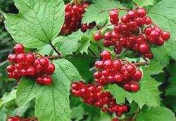 Калина обыкновенная - Лекарственные растения