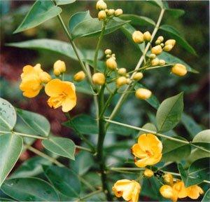 Кассия остролистная (сенна) - Лекарственные растения