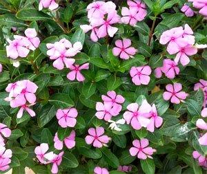 Катарантус розовый (барвинок розовый)